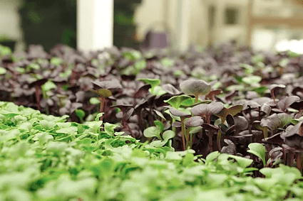 Learn How to Grow Microgreens 101 | Growing Microgreens Indoors