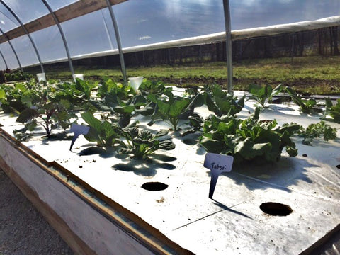 Growing Seedlings in Kranty Raft