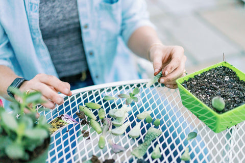 removing leafs from succulents to propagate