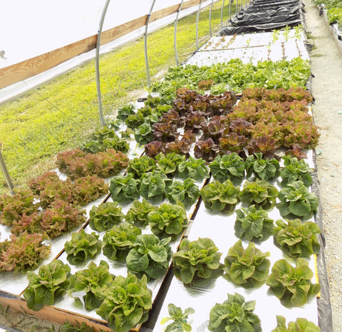 Growing Lettuce and Kale