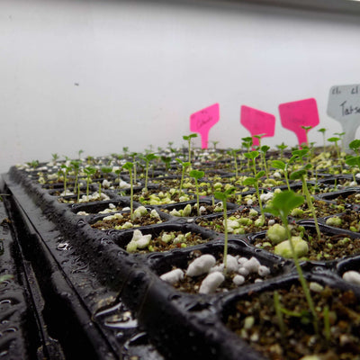 Seedlings in Plug Trays