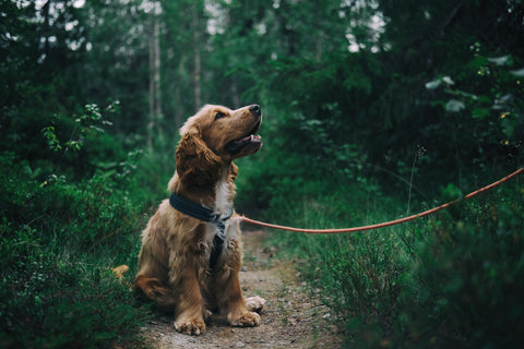 Cocker spaniel with collar and leash-Poochles