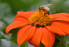 Pollinator, bee, photography