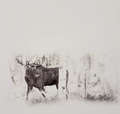 Black and White Photography of a Wyoming Moose in aspen grove with faded background