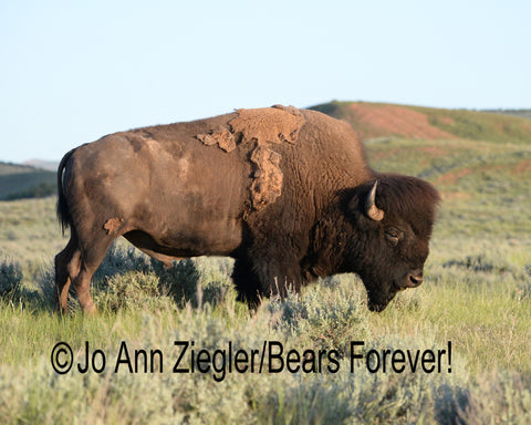 """American Legacy"" Bull Bison Photograph"