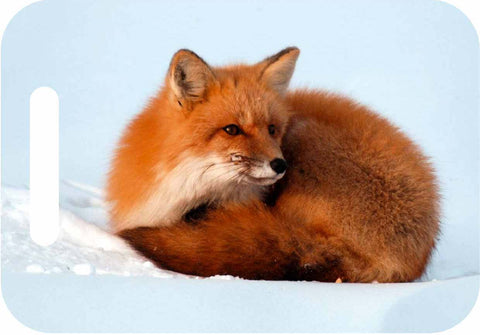 Red fox in the snow. Photography on ID tag for luggage, yoga or computer bag.