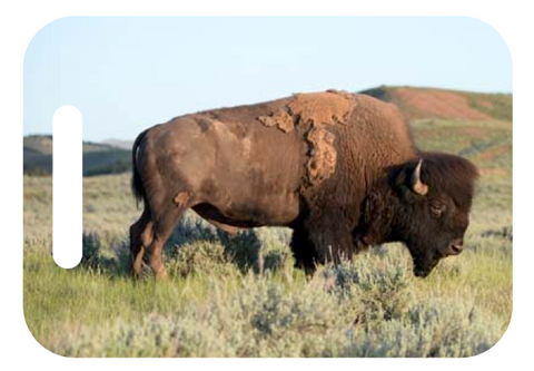 American Legacy Bison, prairie scene ID tag for your luggage, backpack, yoga back and more.