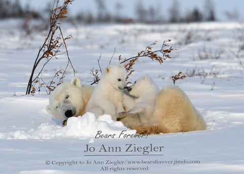 """Eskimo Kisses"" Mother Polar Bear / Cubs Kissing Photograph Cubs Photograph Photographer: Jo Ann Ziegler Mother polar bear and two young cubs with their heads together in front of the mom-looks like they are kissing. Part of polar bear collection  5"" x 7"" photograph  8"" x 10"" white mat, ready for framing  Lustre prints  Each print is finished with a color appropriate mat  Acid free foam board back     Sealed plastic bag for protection"