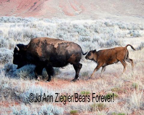 Follow The Leader Mom And Calf Buffalo Photograph