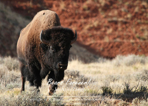 History Relived  Photograph of Running  Bull Buffalo