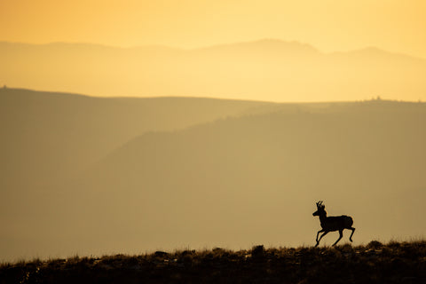 Prancing pronghorn antelope of Wyoming against yellow Wyomiong skies,