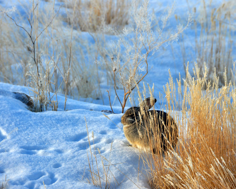 Photograph of a bunny in the Cold Morning Sun Greeting Card
