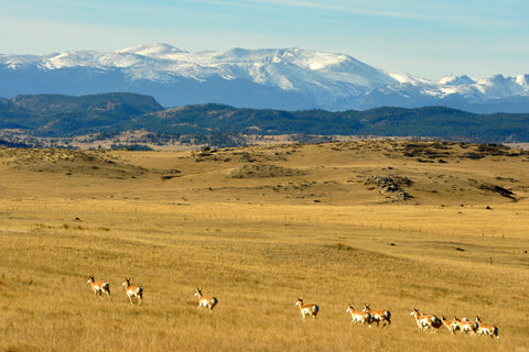 Photography Greeting Card of Pronghorn Antelope herd at the base of the mountains