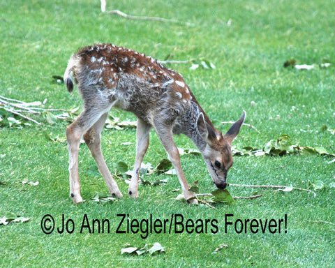 """ First Day""  Deer Fawn  Photograph"