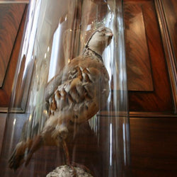 Stuffed bird in bell jar