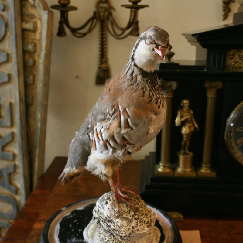 Vintage partridge taxidermy in bell jar