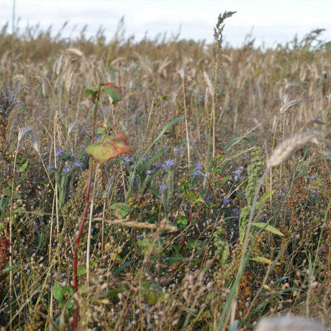 Autumn Sown Bumblebird Seed Mix (AB16) (Acre Pack)