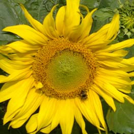 Sunflower Seed (5kg per acre pack)