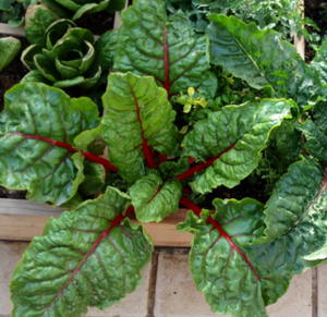 Very Giving Rainbow Swiss Chard