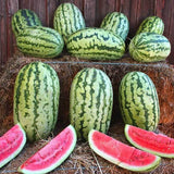 Watermelon Striped Klondike  • بطيخ مخطط - plantnmore