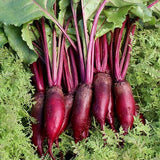 Beetroot Cylindra • شمندر اسطواني طويل
