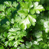 Parsley Italian Flatleaf • بقدونس ايطالي - plantnmore