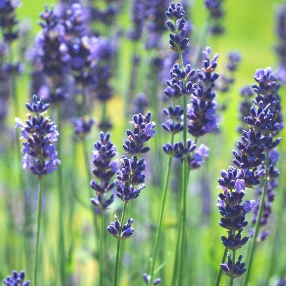 Lavender Spike • لافندر مدبب - plantnmore