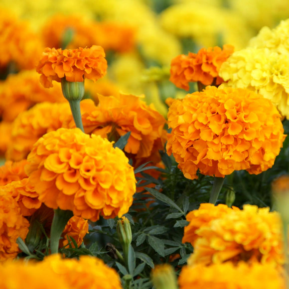 Marigold Crackjack Mix •  ماريجولد كبير - plantnmore