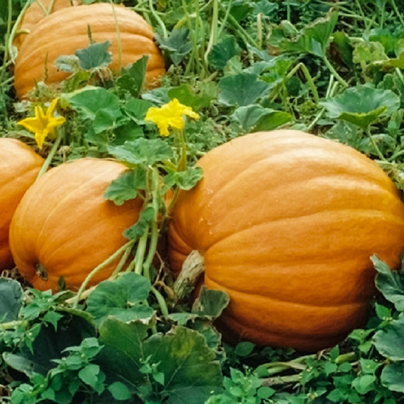Pumpkin Mammoth • قرع عملاق - plantnmore