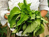 Asian Shiso • شيسو آسيوي