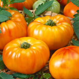 Chefs Choice Orange Tomato• طماطم برتقالي - plantnmore