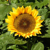 Sunflower Sunspot • دوار شمس قصير - plantnmore