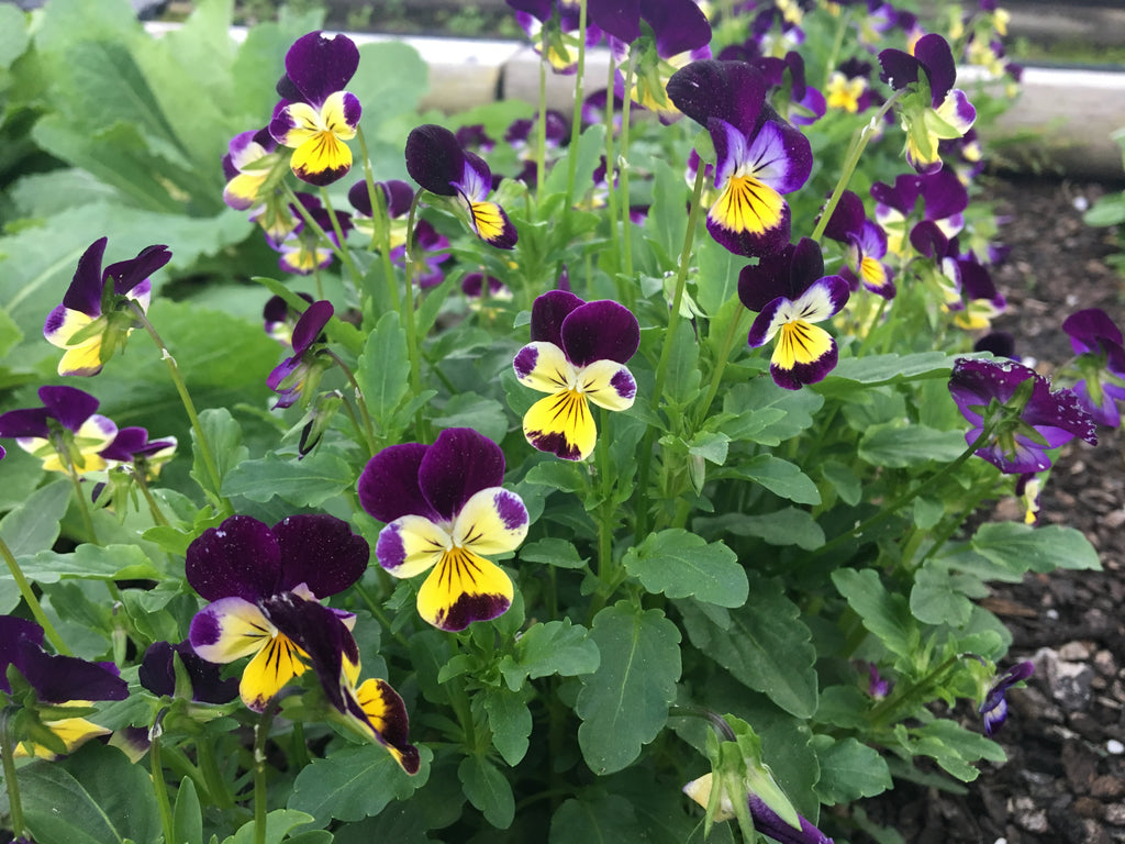Viola Johnny Jump Up •  فايولا - plantnmore