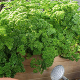 Curly Parsley • بقدونس مجعد
