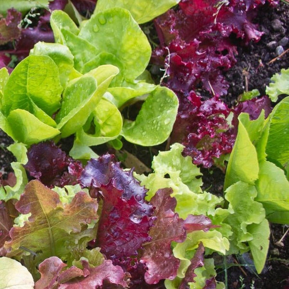 Lettuce Gourmet Salad Mix  O • خس ملون فاخر - plantnmore