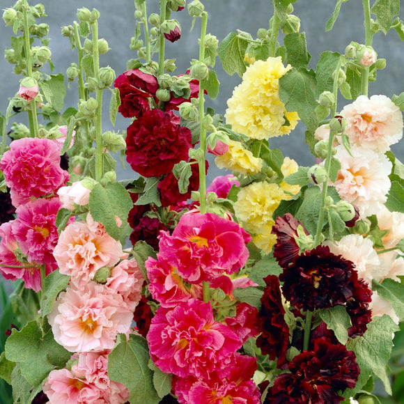 Hollyhock Summer Carnival • زهور الختمية - plantnmore