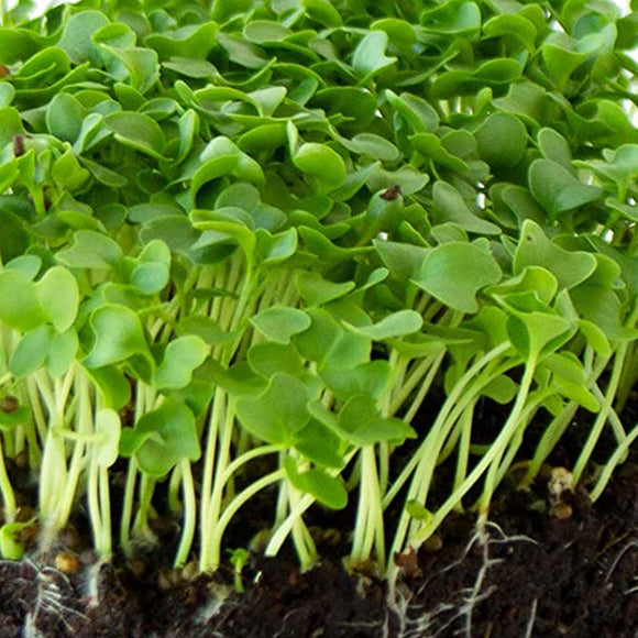 Curly Kale Microgreen • كيل كيرلي ميكروجرين