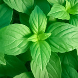 Basil Lemon • ريحان ليموني - plantnmore