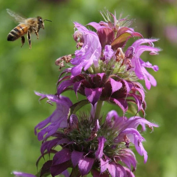 Lemon Mint Beebalm • نعناع ليموني - plantnmore