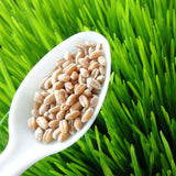 Wheatgrass Seeds 227g•  عشبة القمح - plantnmore