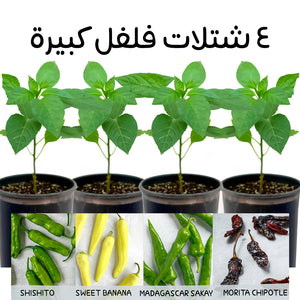 4 Large Pepper Plants • ٤ شتلات فلفل كبيرة - plantnmore