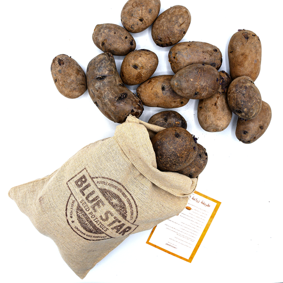Blue Star Potato ● بطاط بنفسجي - plantnmore