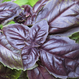 Purple Basil  • ريحان بنفسجي