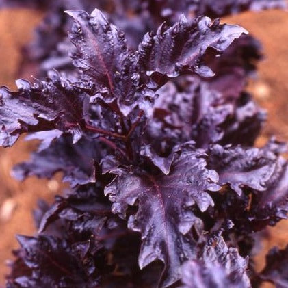 Basil Purple Ruffles • ريحان بنفسجي مجعد - plantnmore