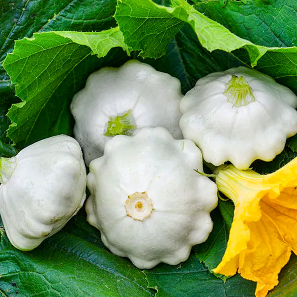 Squash White Scallop • كوسى بيضاء - plantnmore