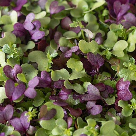 Spicy Salad Mix Microgreen •  خلطة حارة ميكروجرين
