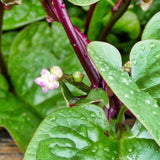 Red Malabar Spinach • سبانخ مالابار أحمر - plantnmore
