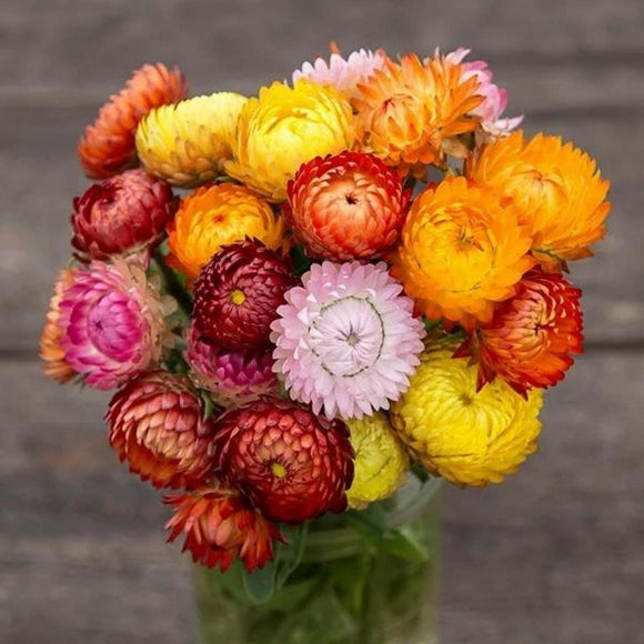 Strawflower  • زهرة الستروفلور - plantnmore