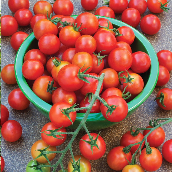 Tomato Supersweet 100 • طماطم شيري سكري - plantnmore