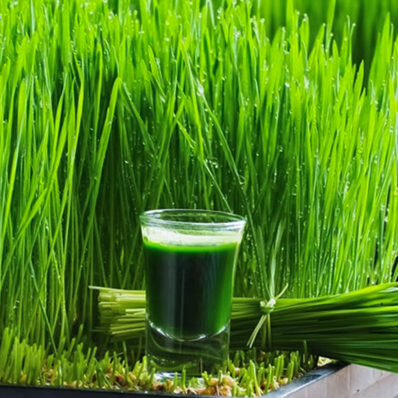 Wheatgrass Seeds 227g•  عشبة القمح